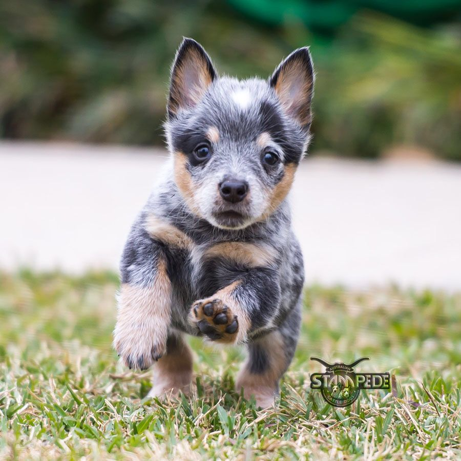 australian cattle dog blue heeler puppy dogs. Black Bedroom Furniture Sets. Home Design Ideas