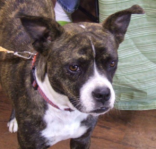 Boxer Boston Terrier Mix Puppies For Sale Zoe Fans Blog Hunde