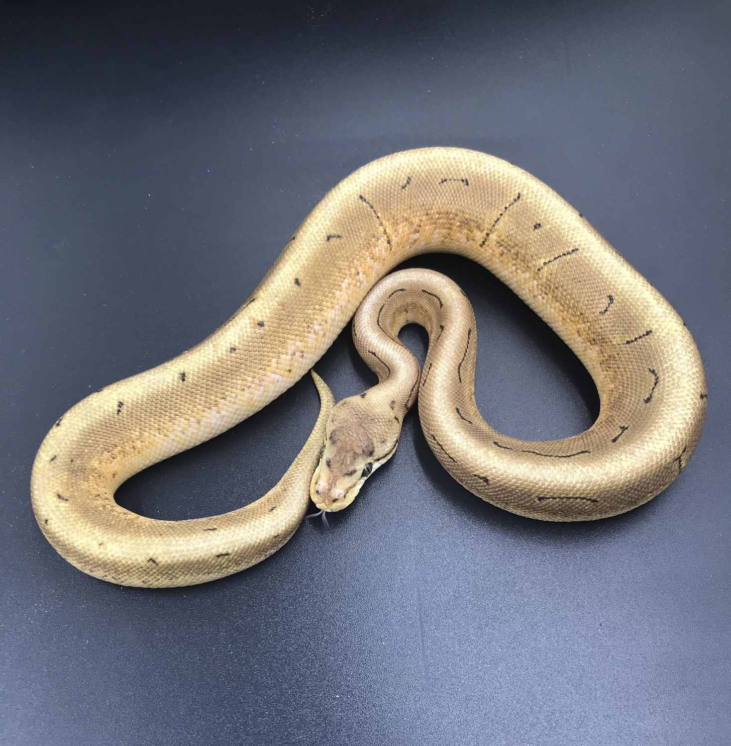 Spinner Ball Python by Cold Blooded Buddies MorphMarket