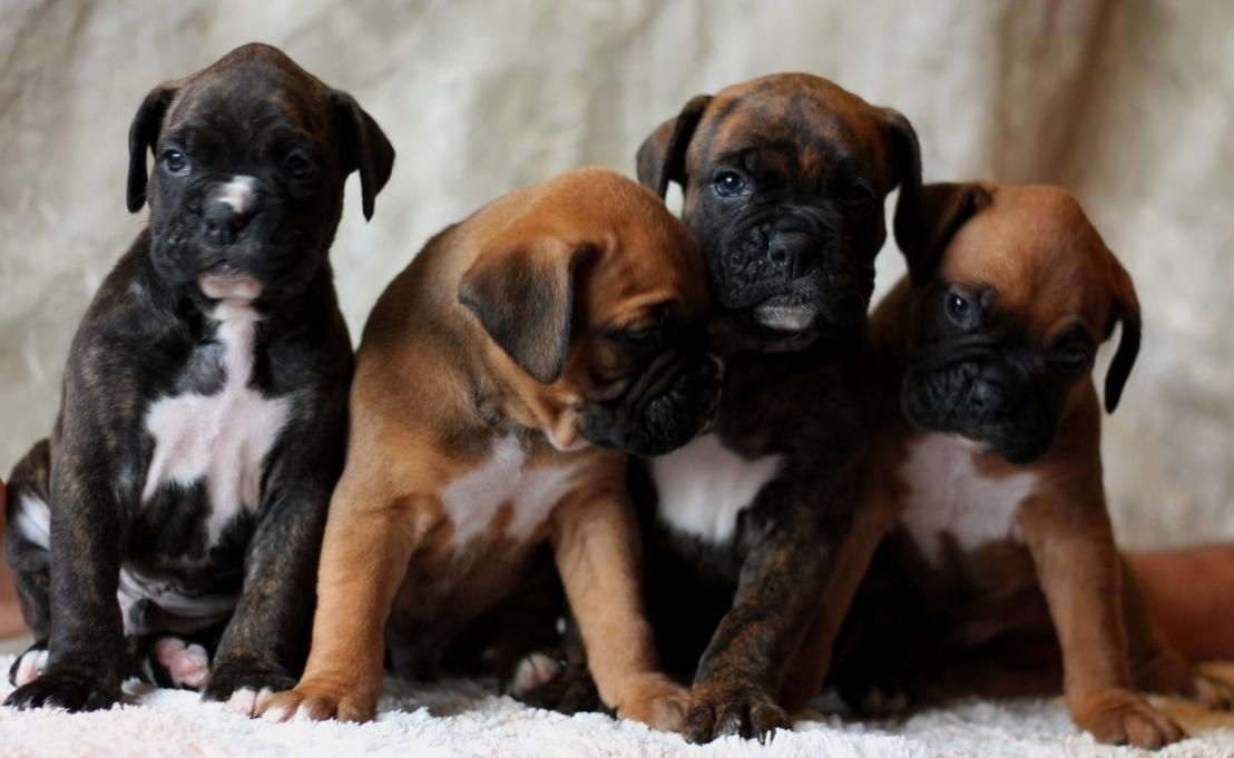 Dogs Puppies Classifieds A Litter Of Boxer Puppies Germany Boxer Dogs Boxer Puppies Puppy Friends