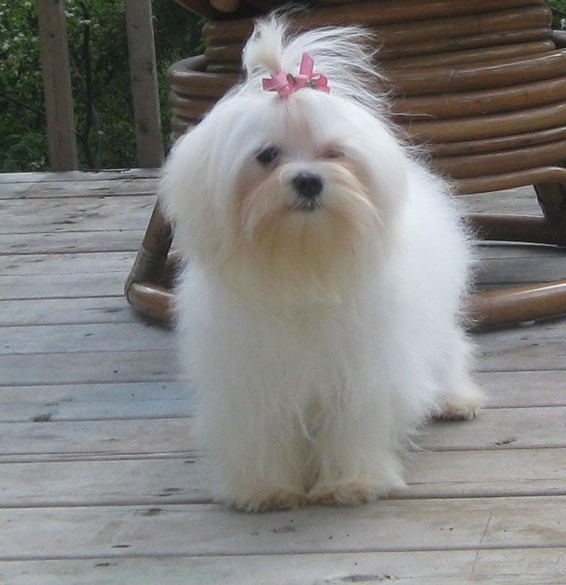 Victoria 6 5 Lbs Lachicpatte Com Maltese Dogs Dog Breeds That