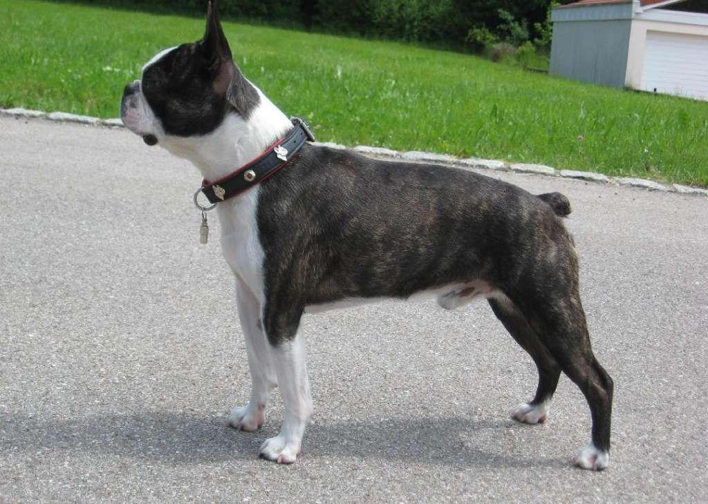 Origins Of The 50 Most Popular Dog Breeds Boston Terrier Boston