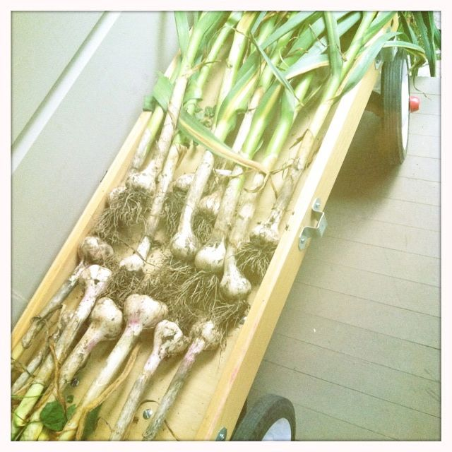 Homegrown garlic.....mmmm...