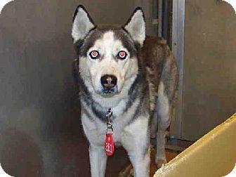 Rockville Md Siberian Husky Meet Allen A Dog For Adoption
