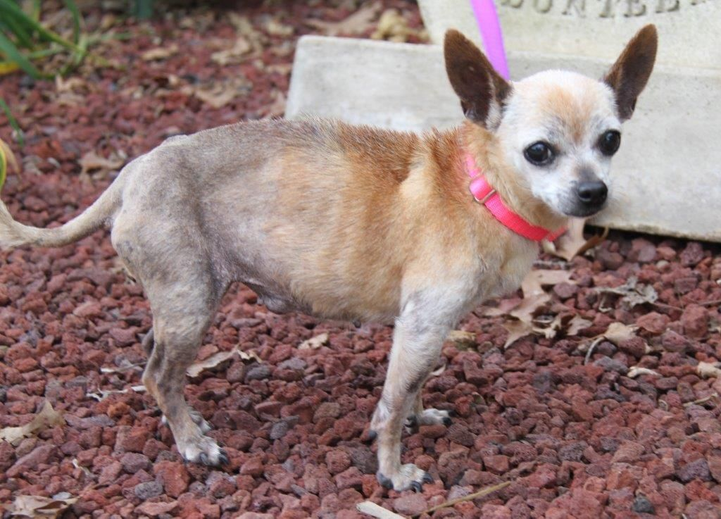 Chihuahua Dog For Adoption In Minneapolis Mn Adn 685311 On