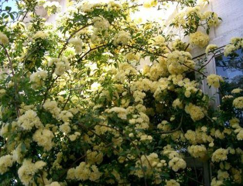 Lady Banks Yellow Climbing Rose