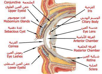 بالصور و الشرح علم وظائف أعضاء جسم الإنسان مع تشريح جسم الانسان ملتقى الشفاء الإسلامي