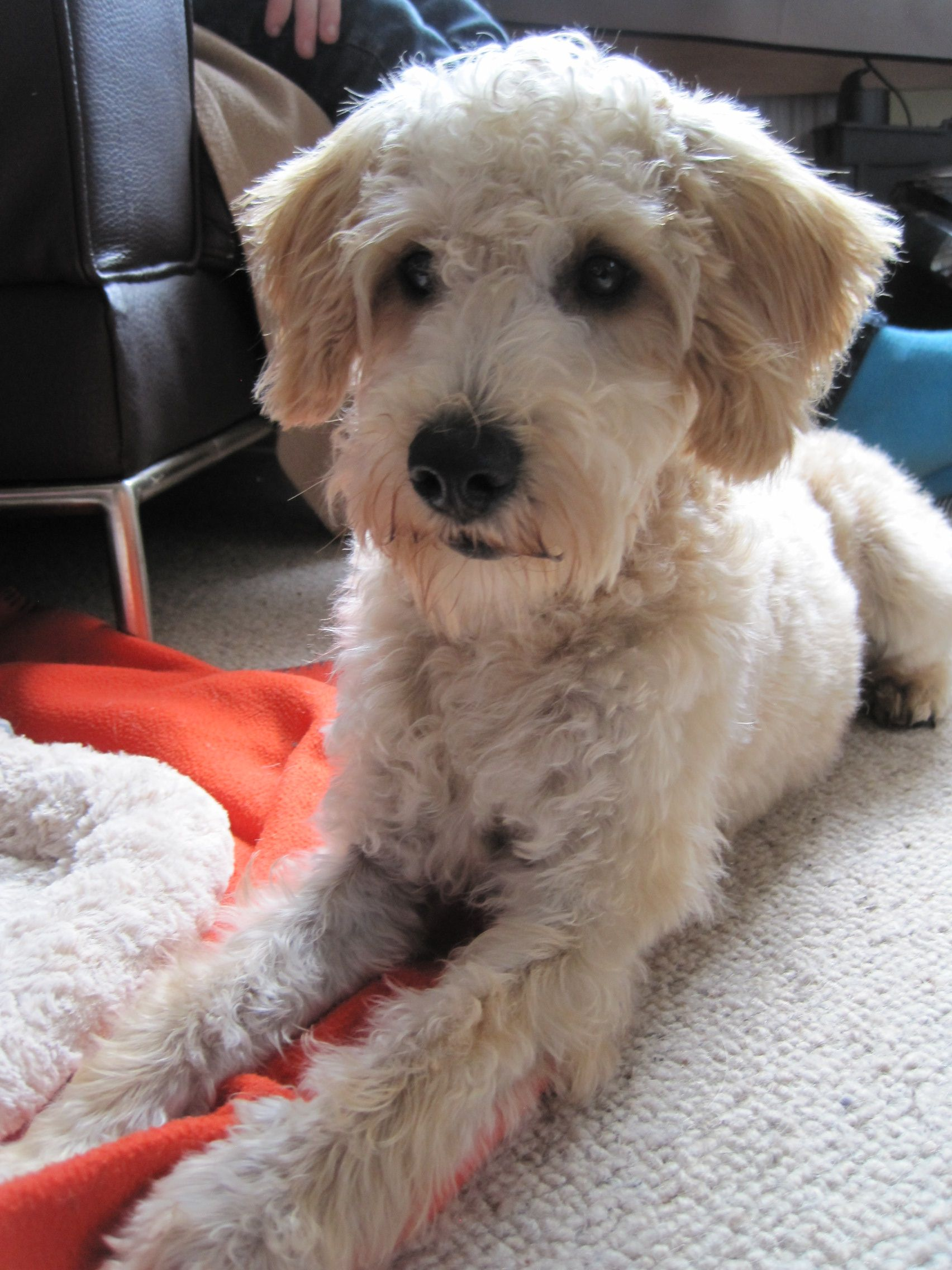 Moby Curious Dog Schnoodle Dog Apricotschnoodle Apricot Acting Schnoodle Dog Schnoodle Puppy Schnoodle