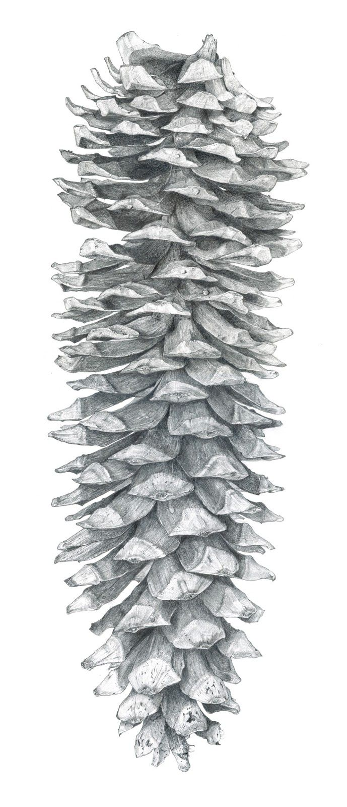 Sarah Melling: Pencils and Paper: Sugar Pine Cone - Finished drawing ...