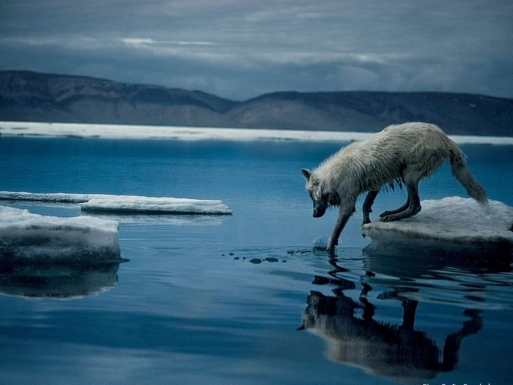 National geographic photography free artic wolf photo - National geographic wild wallpapers ...