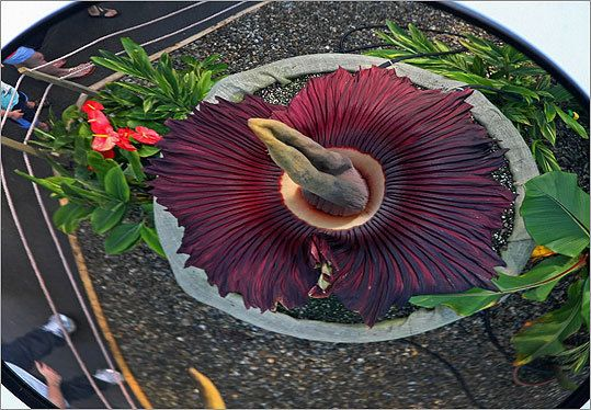 Corpse Flower Blooms At Franklin Park Zoo Corpse Flower Franklin Park Zoo Corpse Flower Bloom