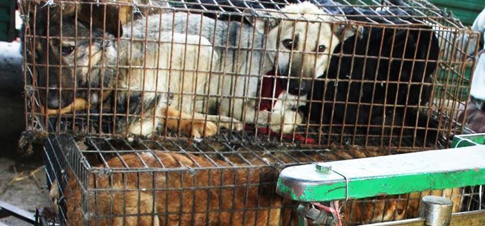 REALITY OF FUR! **[warning graphic images]** Every year, over 2 million dogs and cats—animals that are no different from the ones we value as pets—are tortured, brutally slaughtered and skinned (sometimes alive) for their fur. Based mainly in China, but also existing in Thailand, the Philippines and other Southeast Asian regions, this million-dollar market is [...]