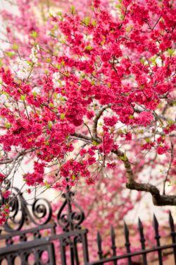 "hueandeyephotography: "" hueandeyephotography: "" Spring Crabapple, Washington Park, Charleston, SC © Doug Hickok All Rights Reserved "" More here… """