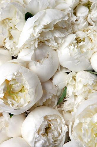 Time to open up mood board pinterest peonies white peonies time to open up white peonies white flowers beautiful flowers pretty flowers mightylinksfo
