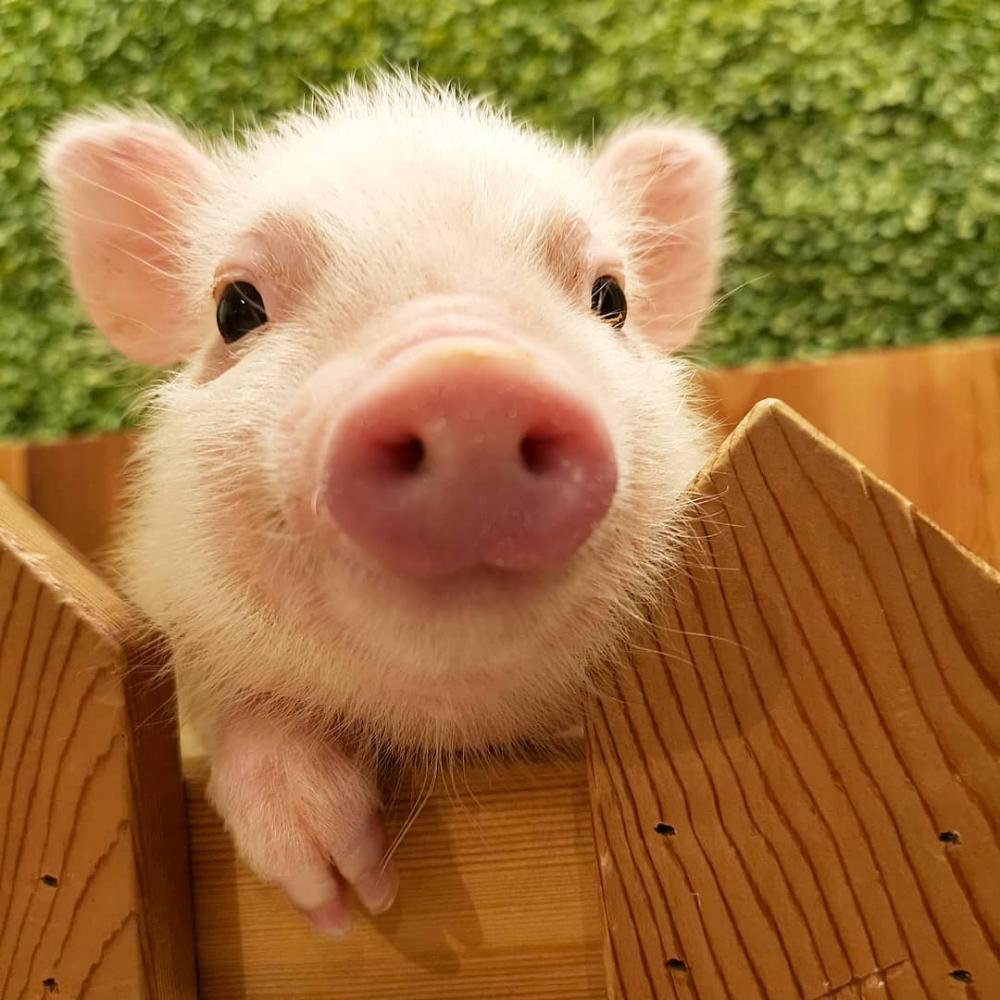 可愛さにゾッコン 日本初 マイクロブタと触れ合える Mipig Cafe に潜入 Mery メリー かわいい動物の赤ちゃん モルモット かわいい豚