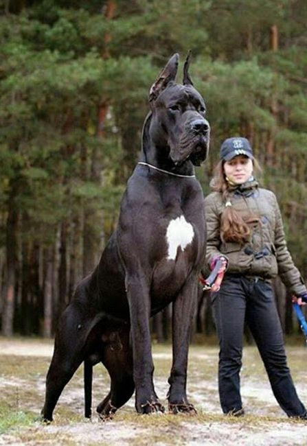 Big Dogs Animals Pinterest Big Dogs Dogs And Big Fluffy Dogs