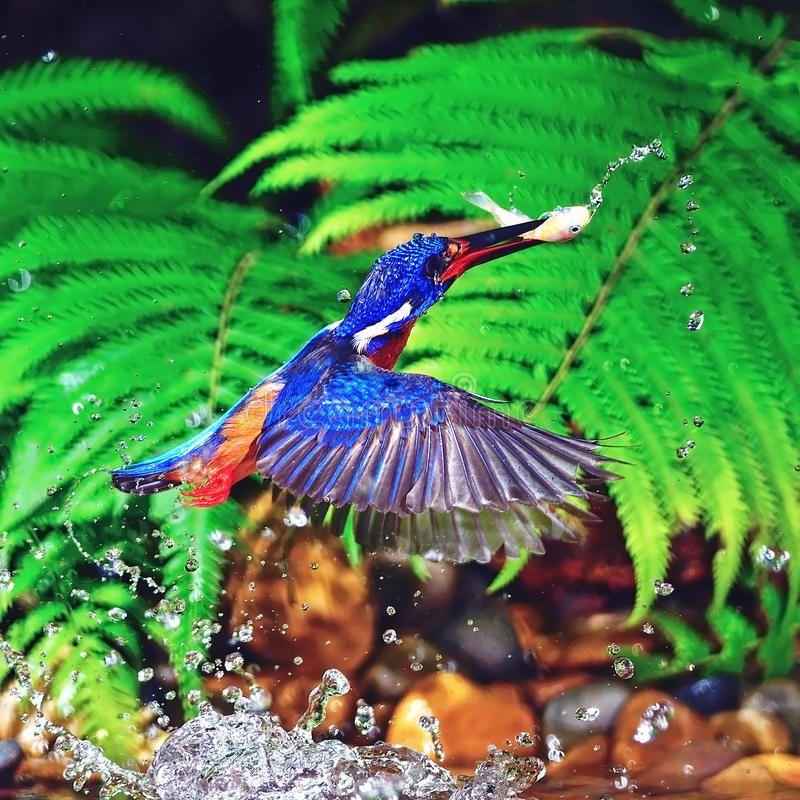 Blueeared Kingfisher. Kingfisher bird in action ,catch