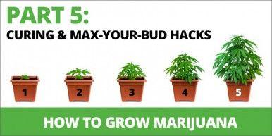 Растут марихуаны 5 функцию 386x193 Как выращивать марихуану Шаг 5: Лечить и Макс Ваш Буд Хаки!