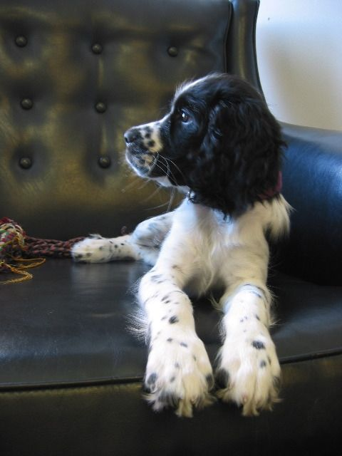 Springer Spaniel The Great Pleasure Of A Dog Is That You May Make A Fool Of Yourself With Him And Not Only Wil Animales Perros Perros Mascotas Fotos De Perros