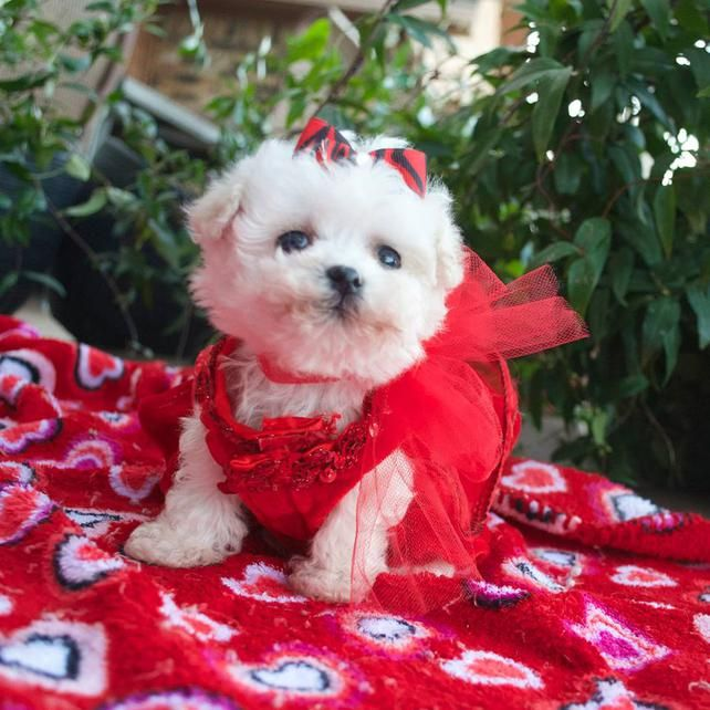 Maltese puppy for sale in Texas Maltese puppy, Puppies