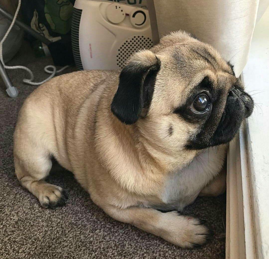 Ponderous Pug Pug Pugs Pugs Funny Cute Pugs