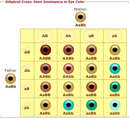 This Is A Picture Of A Punet Square For Eye Color Genetics Pic2fly Com Eye Color Chart Eye Color Chart Genetics Eye Color