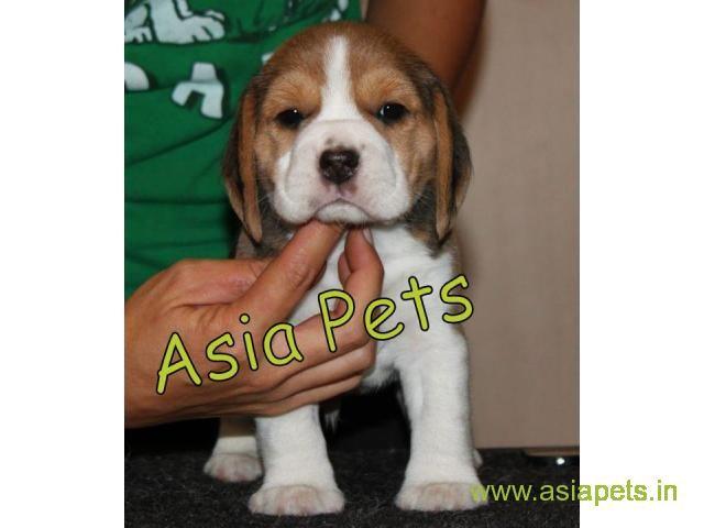 Beagle Pups For Sale in Delhi, Beagle Pups Price in Delhi