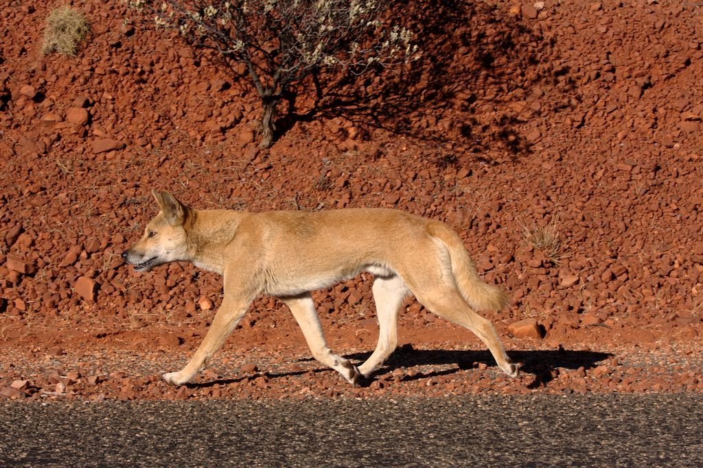 Dingo on the road.jpg Wild dogs, Dingo, Canis