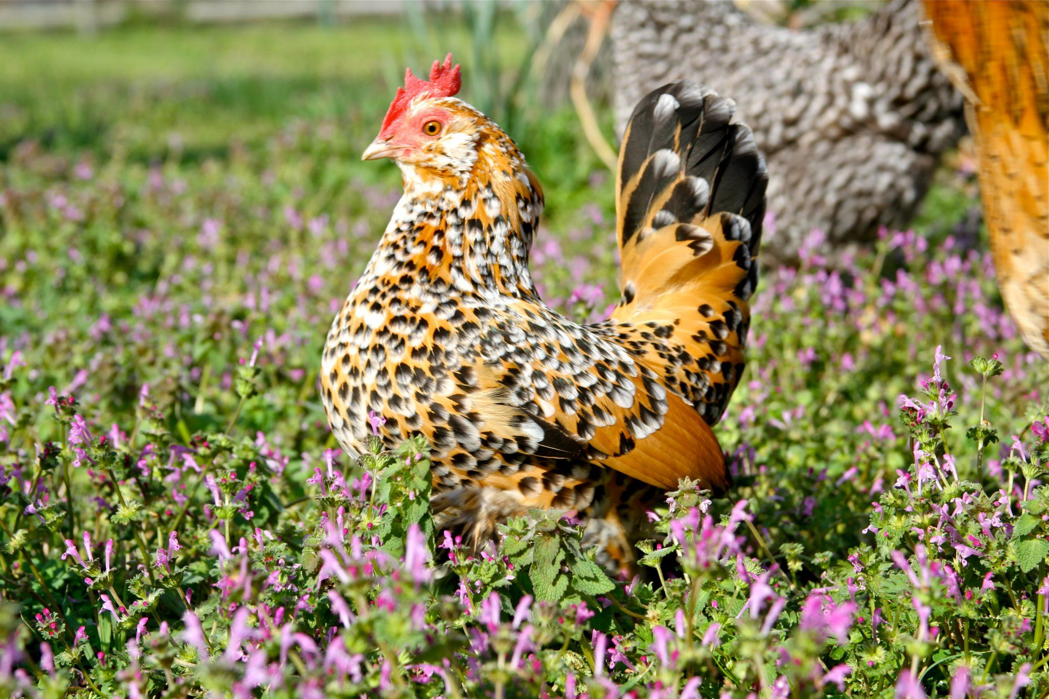 Beautiful coloration Beautiful chickens, Chickens