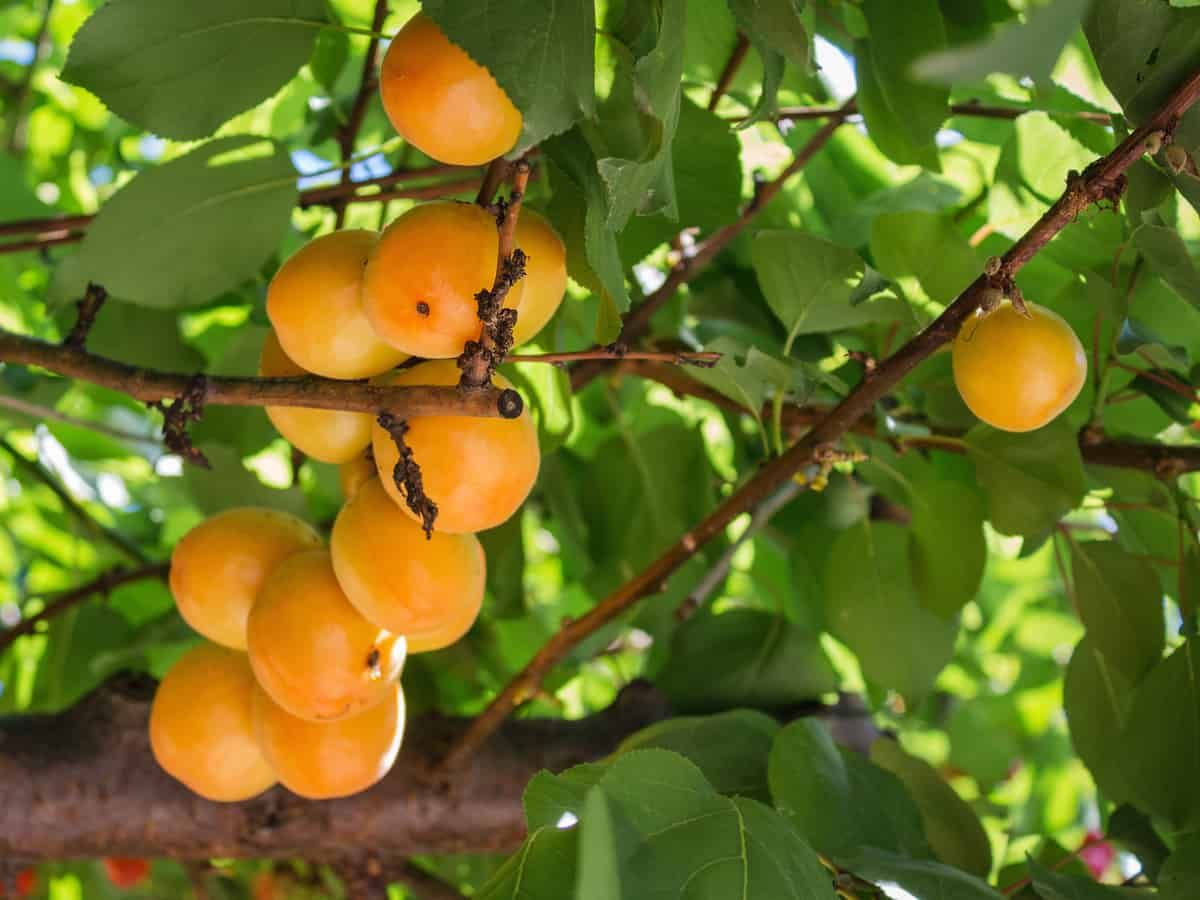 10 Fruit Trees You Can Easily Grow In A Pot Or Container Fruit