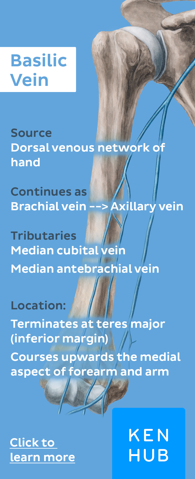 Basilic Vein Anatomy Medical And Medicine