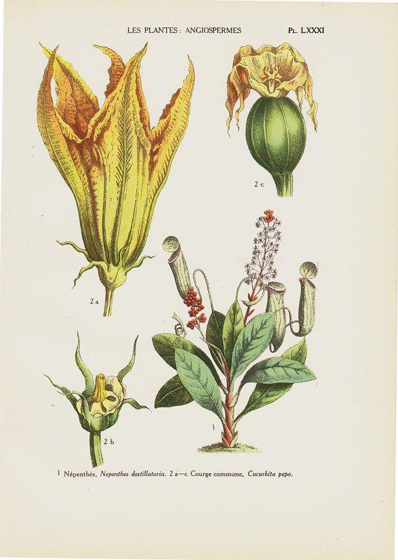 1929 Antique Botanical Print Courgette Squash Zucchini Flower Antique Botanical Print Botanical Prints Zucchini Flowers