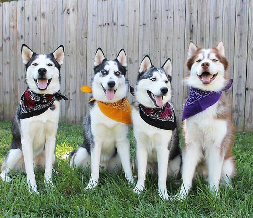 happy huskies in bandanas