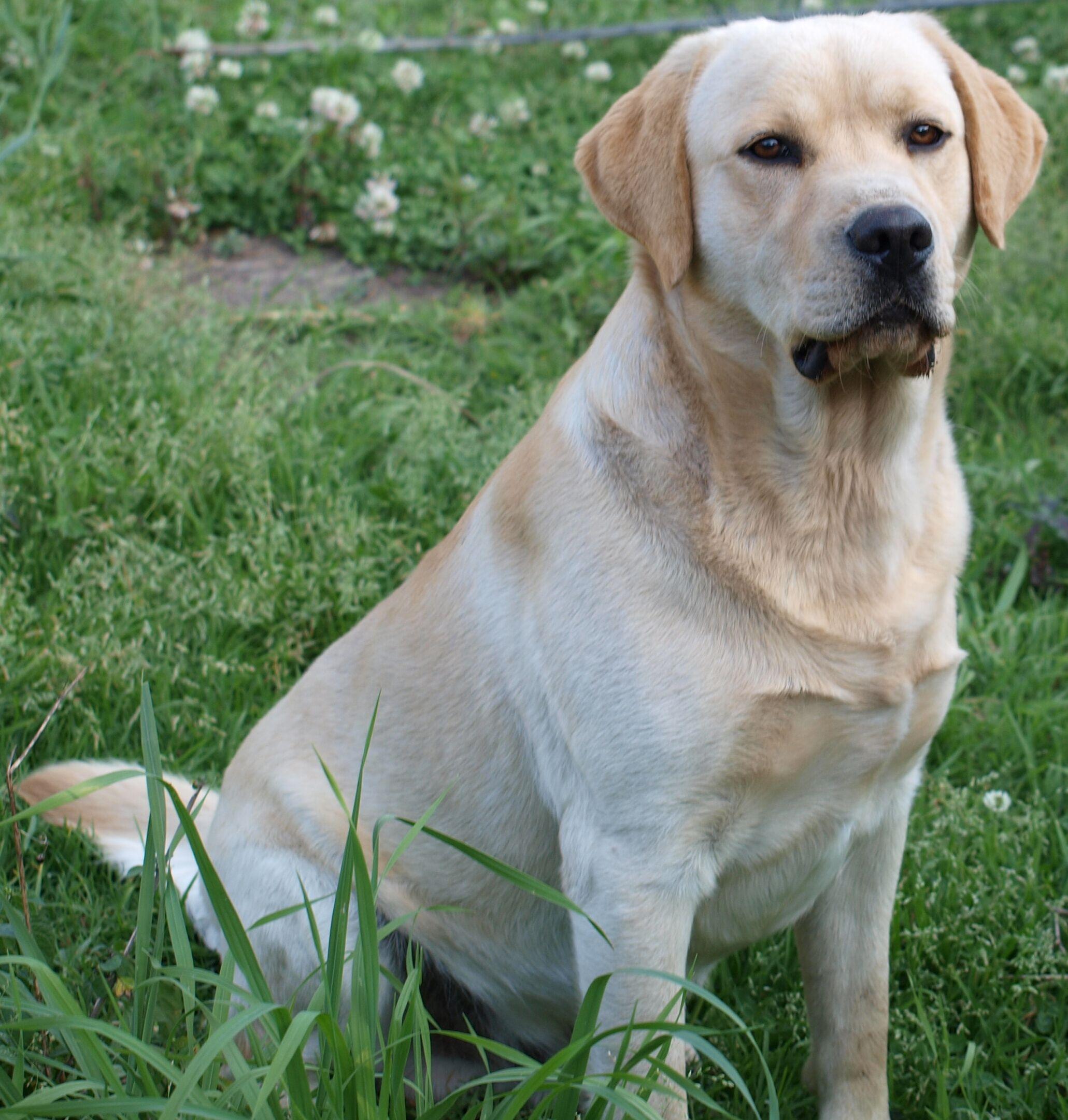 Doubletap Tag A Friend Below Follow Us If You Love Labrador Retriever Update Videos Everyday Yellow Labrador Retriever Labrador Labrador Retriever Dog