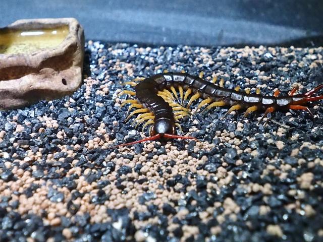 虫注意 ムカデに天敵はいない 巨大ムカデは食物連鎖のトップ Fundo ムカデ 虫 食物連鎖