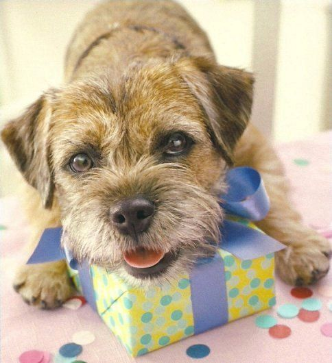 Border Terrier Dog with her 1st Birthday Present