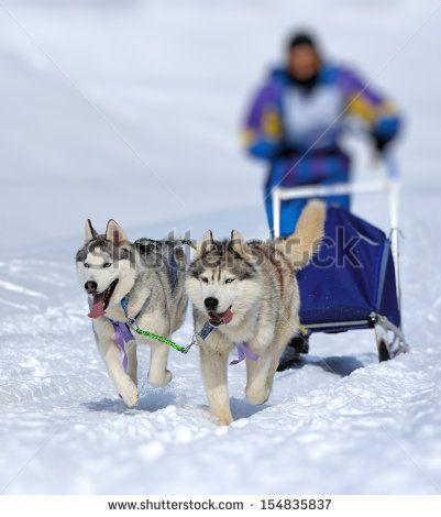snowsleds + dogs - Cerca con Google