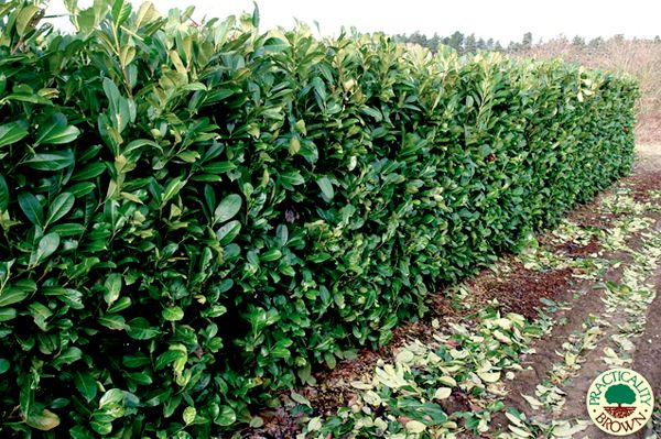 Best Screening Trees Shrubs For San Diego Part 1