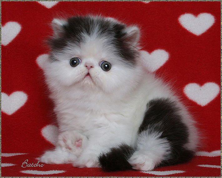 Persian Kittens For Sale - www batcho net - Bi-Color Persian Cat