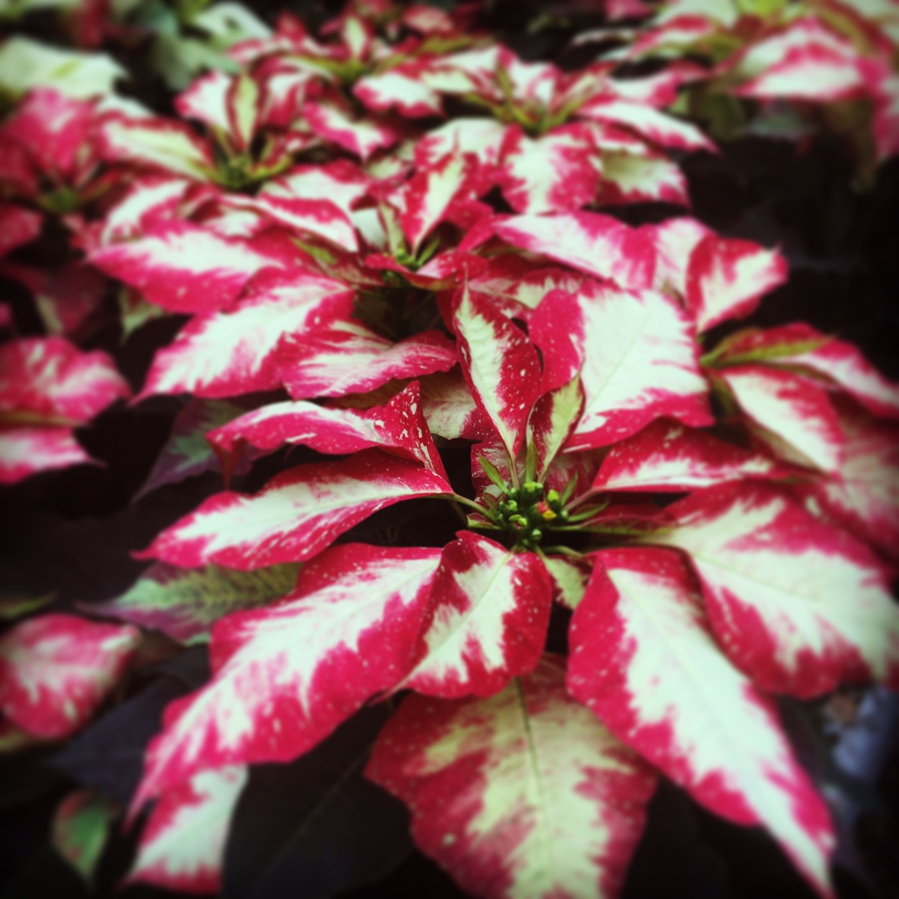 Jingle Bell Rock Poinsettia from Klepac Greenhouses