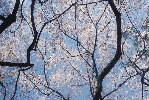 ileftmyheartintokyo:  桜/bule by zumima- on Flickr.