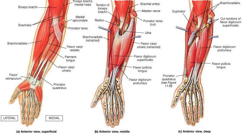 Forearm muscles of anterior compartment: superficial, middle, and ...