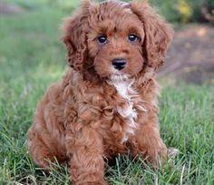 cavapoo full grown - Google Search | Cavapoo Love | Cavapoo puppies
