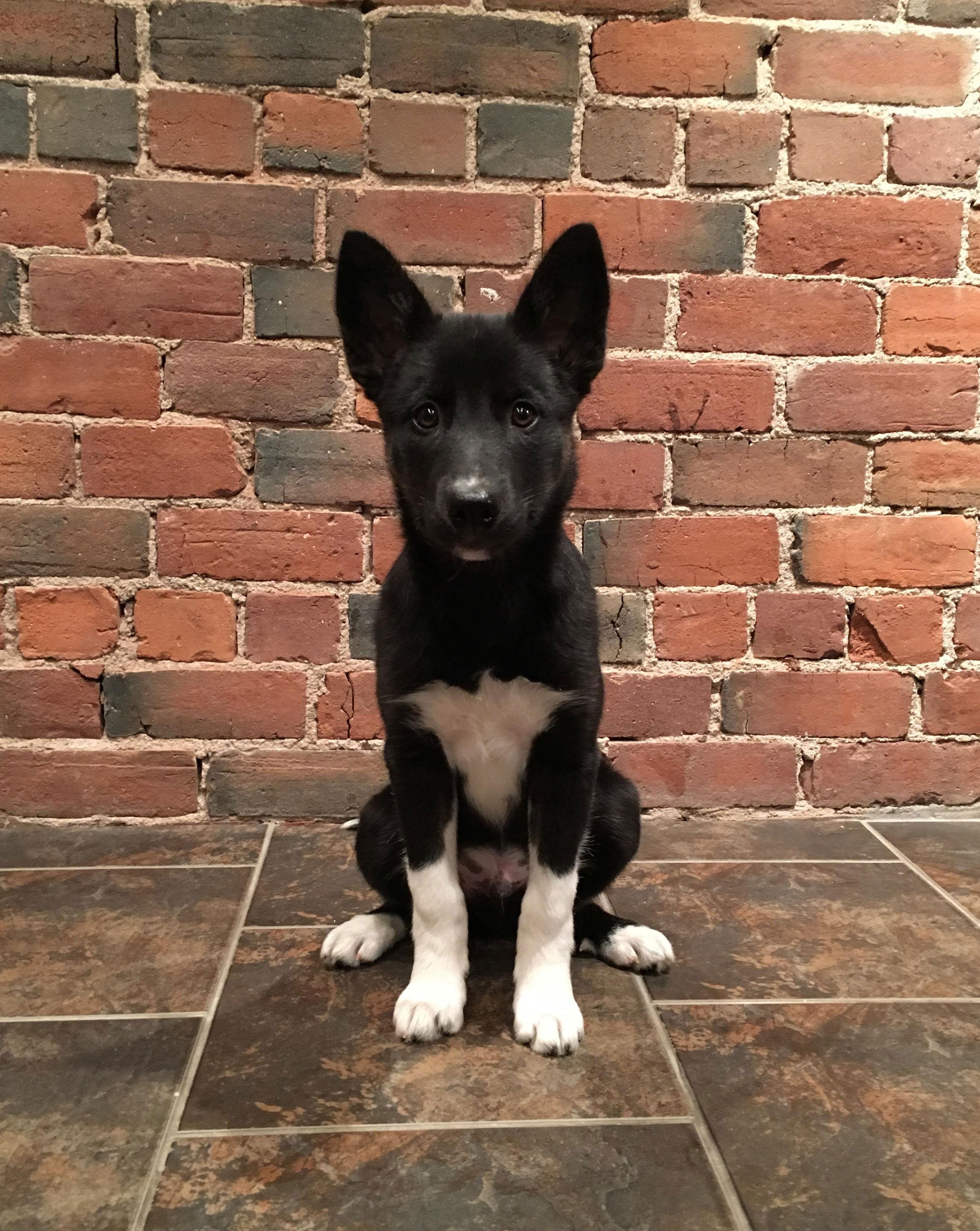 Meet Hudson A Beautiful Curious Looking Siberian Husky And Border