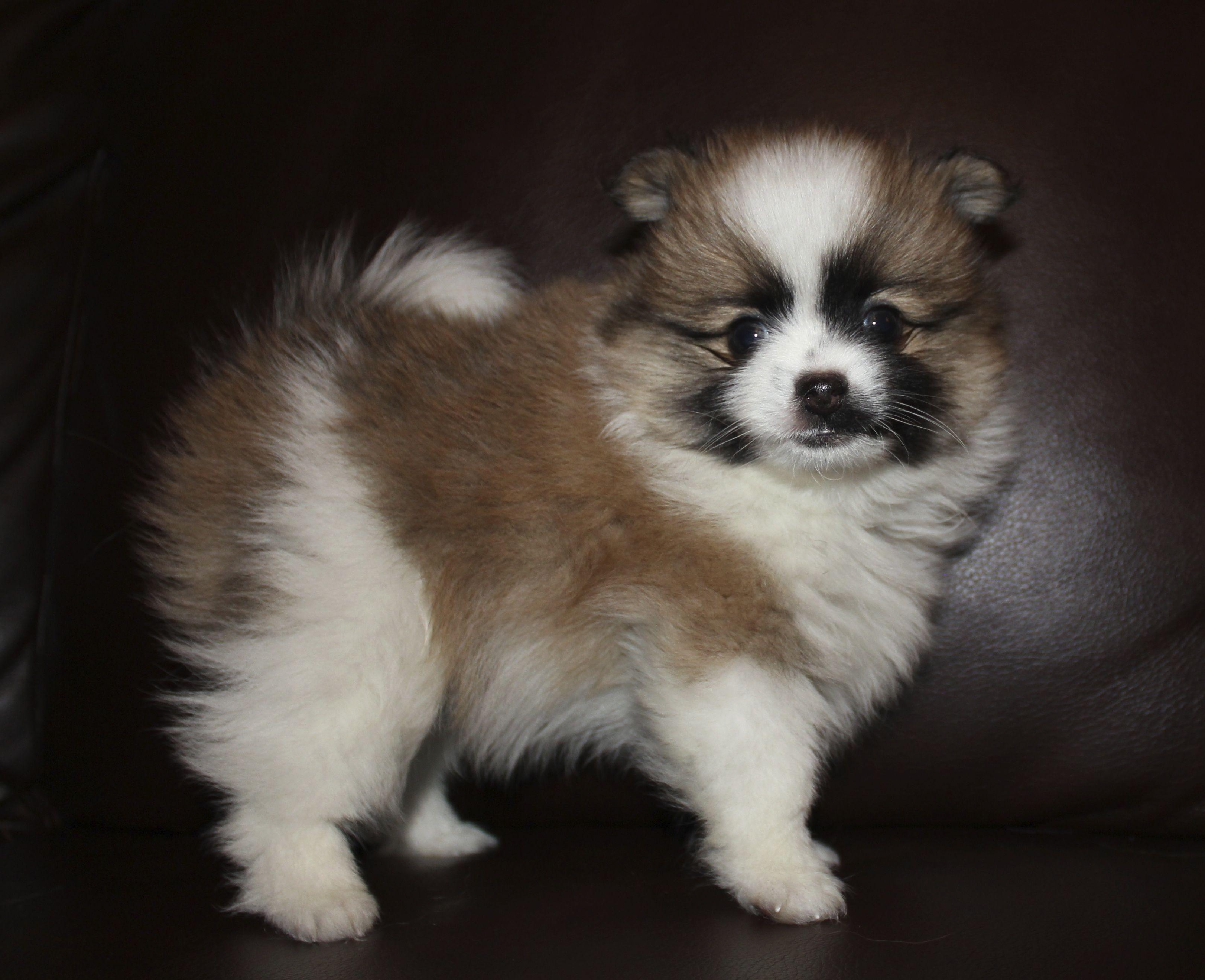 Sold Sarah's puppy born 5-19-13 Orange Sable Parti | Chis