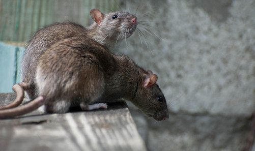 Get Rid of Mice in These 4 Practical Ways! - Do Pest Control Yourself