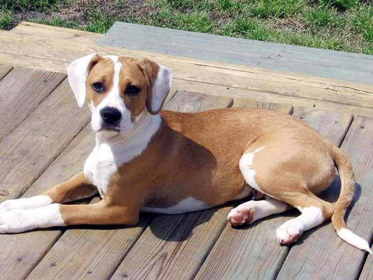 Beagle Boxer Mix Puppies For Sale