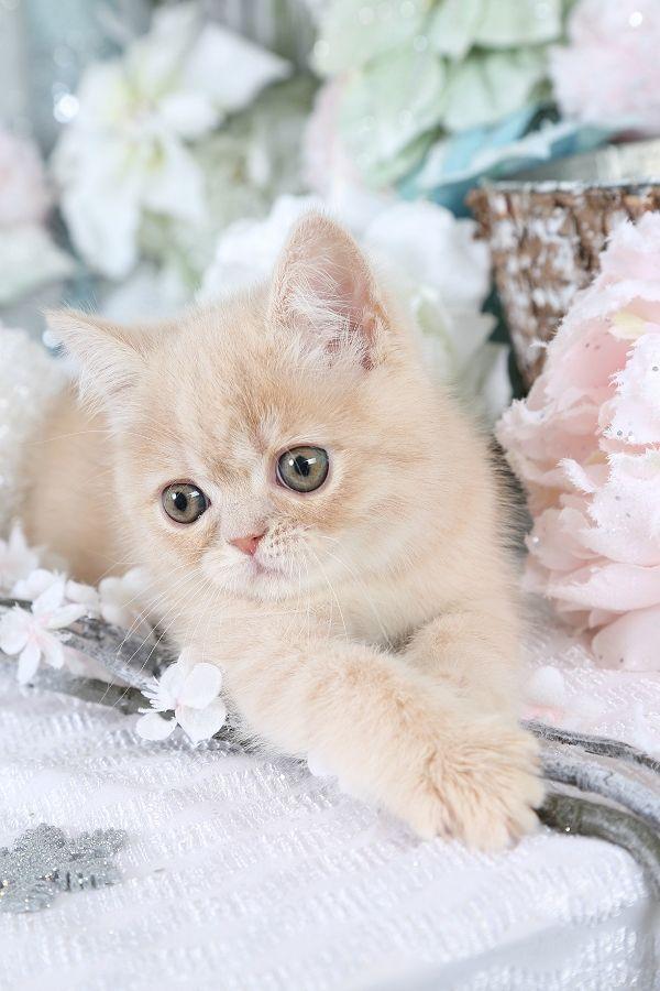 Pin On Exotic Shorthair Kitten
