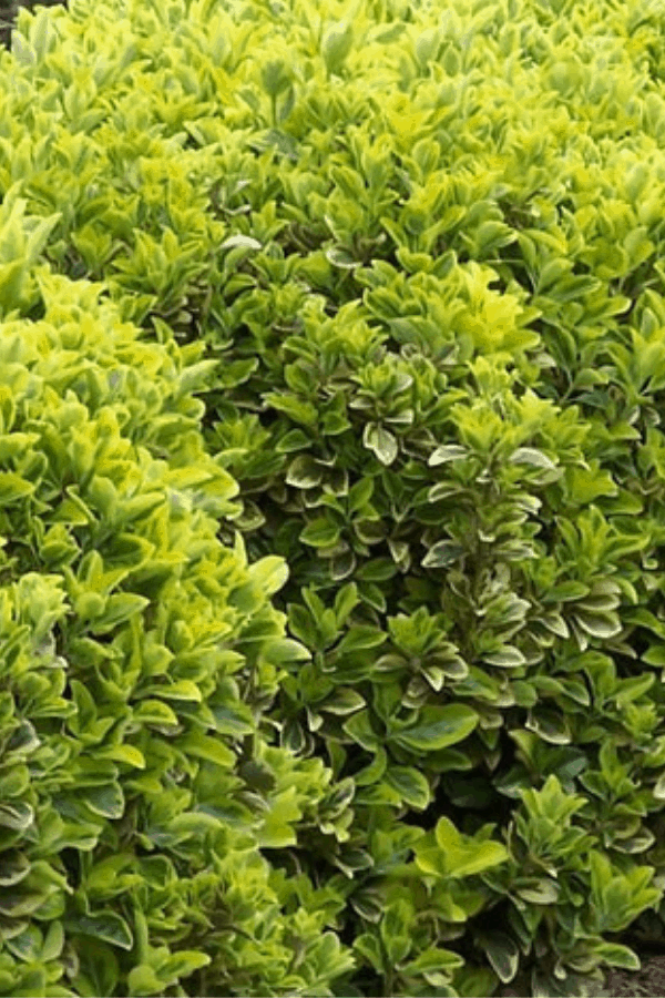 7 Fast Growing Evergreen Trees And Shrubs Fast Growing Evergreens Fast Growing Trees Shrubs For Landscaping