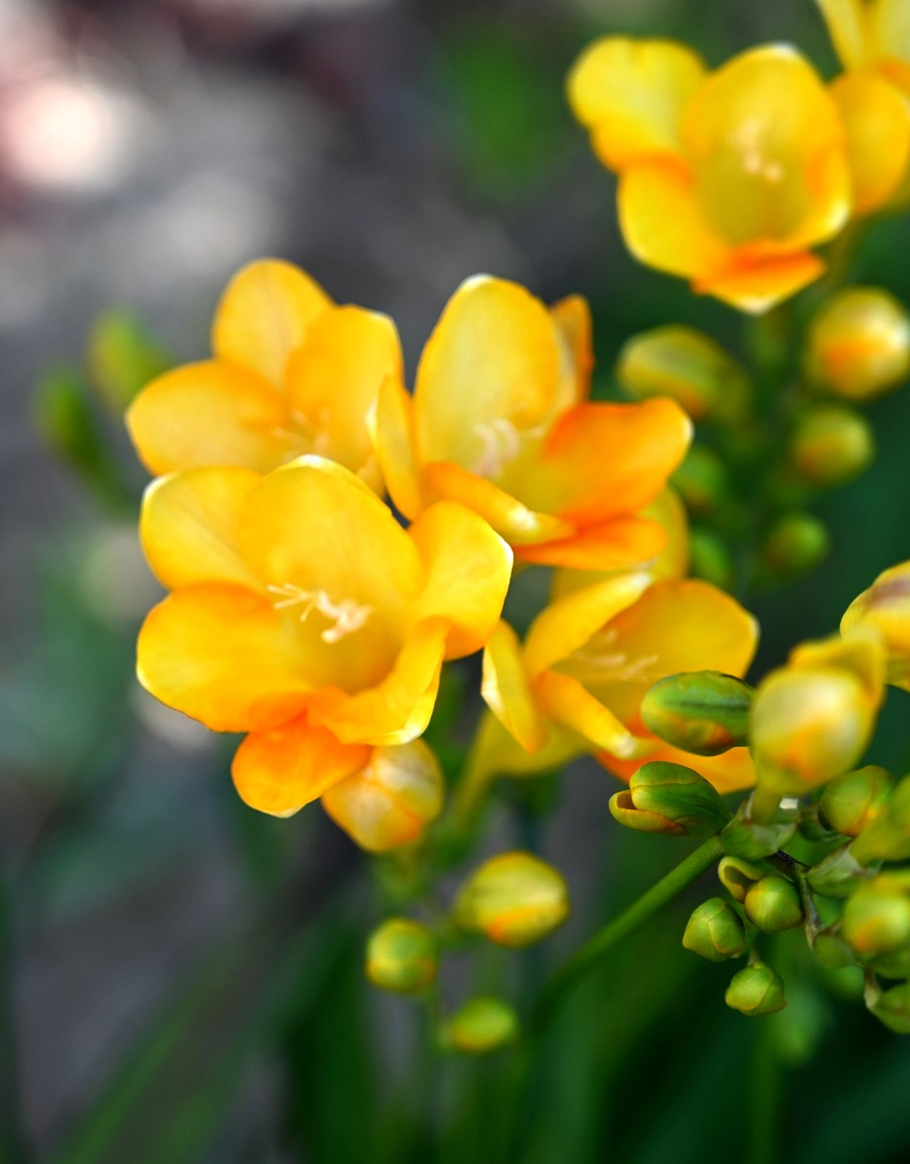 The 10 Most Fragrant Flowers To Plant In Your Garden In 2020 Freesia Flowers Fragrant Flowers Planting Flowers